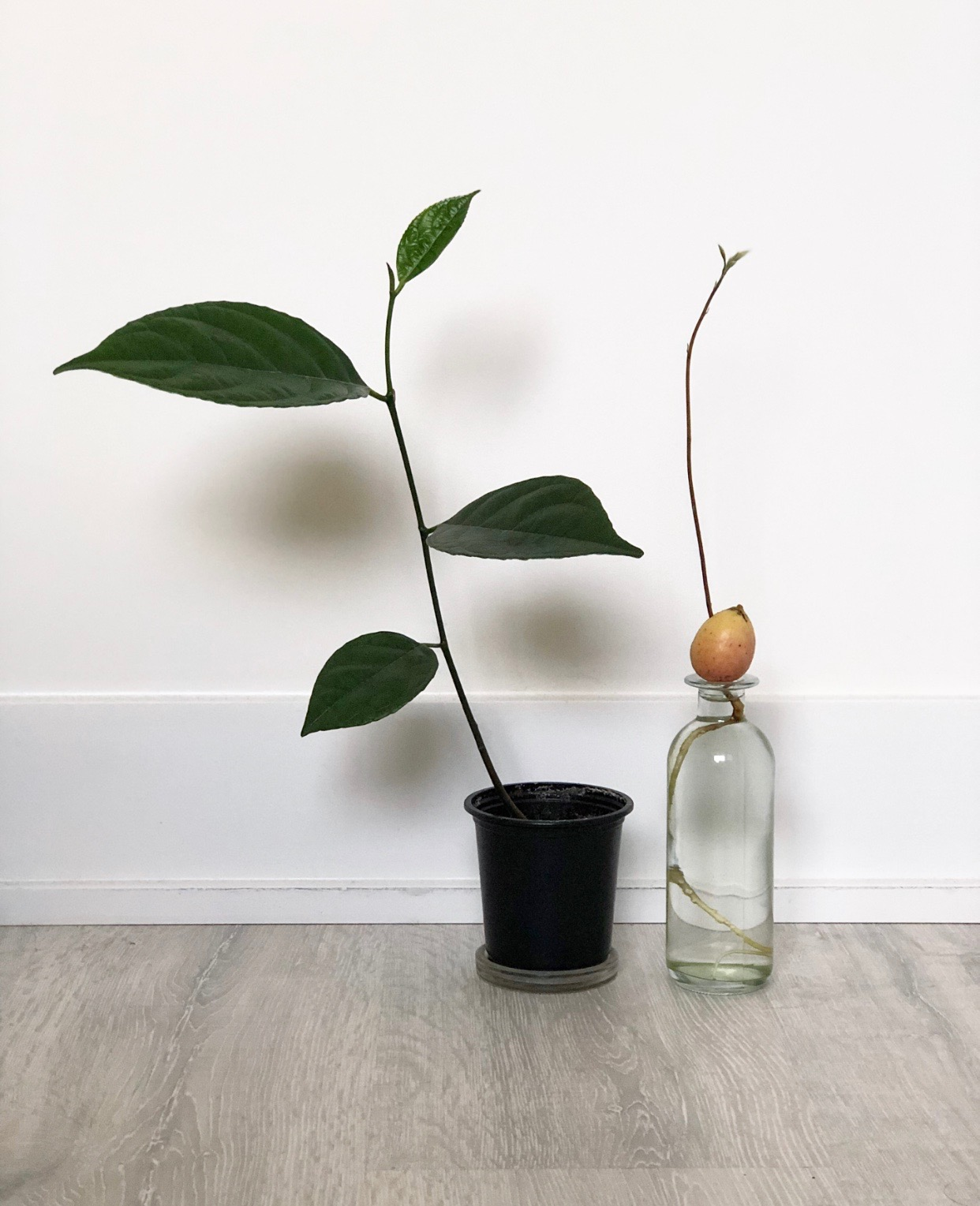 046  avocado seed germination – lostinplantopia